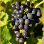 Syrah or Shiraz